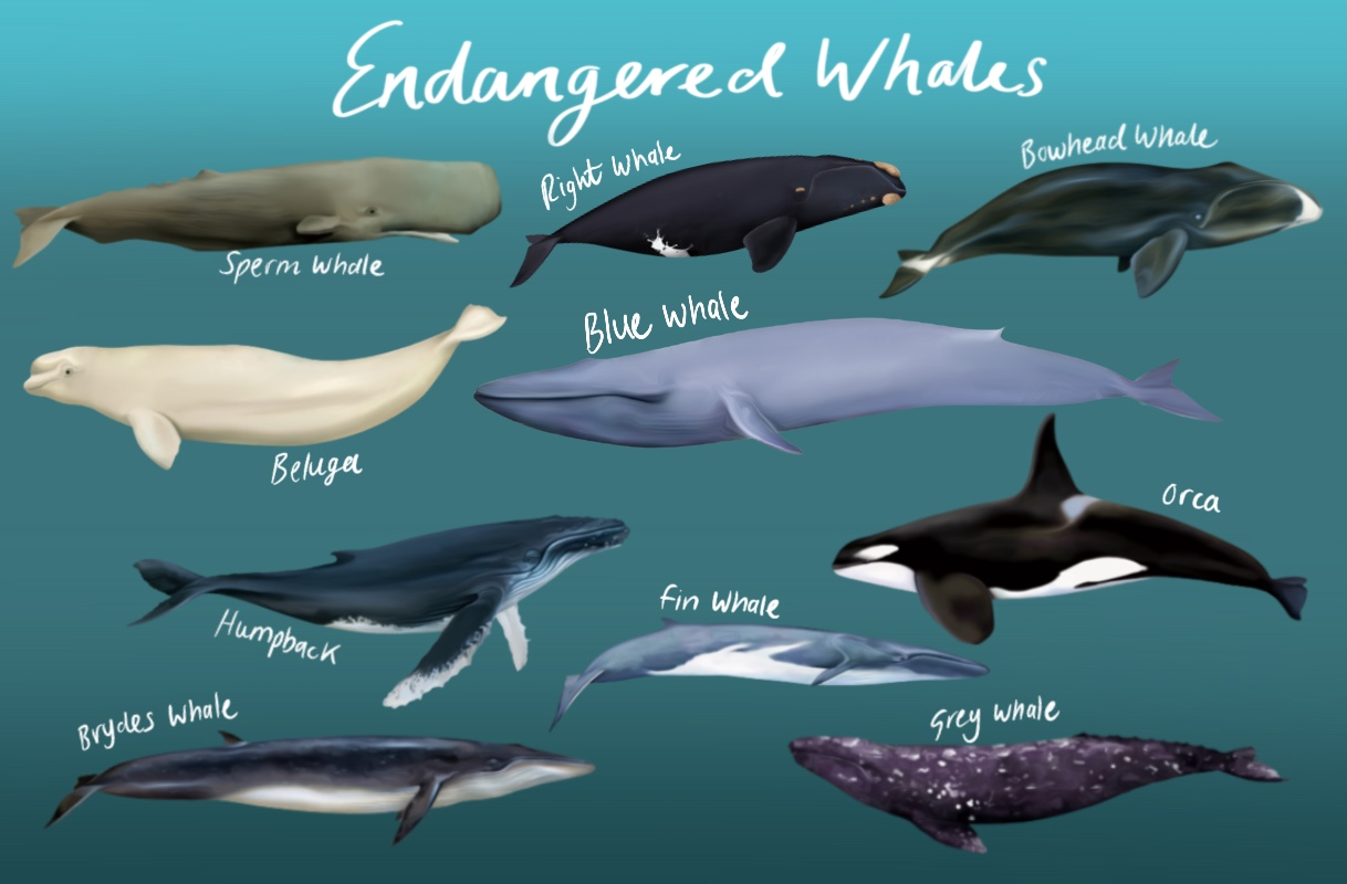 Endangered whales png clipart